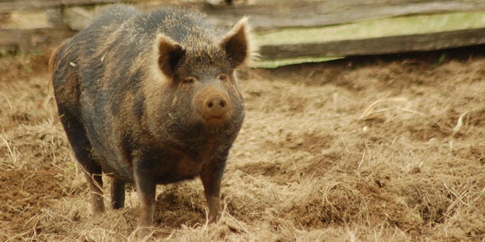 Ossabaw pigs quickly become obsese and develop the same lifestyle diseases as humans. Photo: Ketzirah Lesser/Art Drauglis.