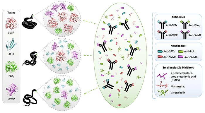 Illustration of the development of recombinant antivenom